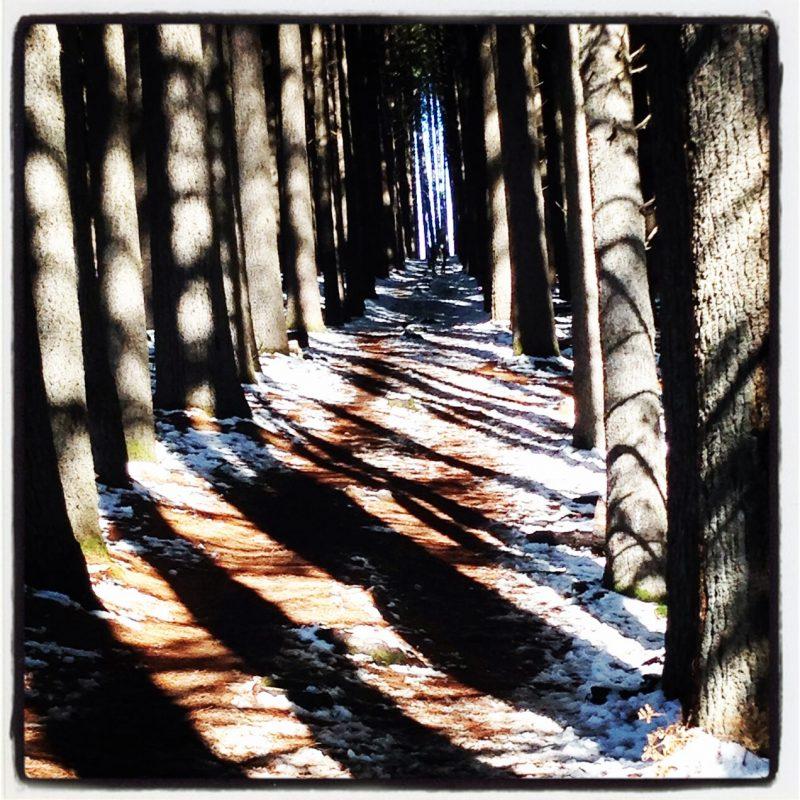 Sugar Pine walk, Laurel Hill near Tumbarumba