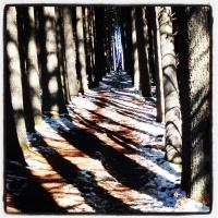 Sugar Pine walk, Laurel Hill
