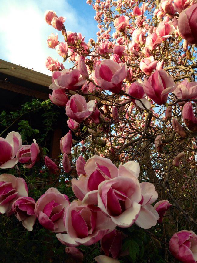 Magnolia close up