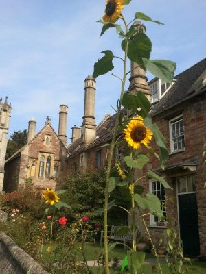 Love the sunflowers in this garden at Vicar's Close