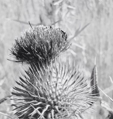 A black and white version of my thistle.