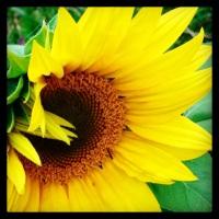Sunflower progress report