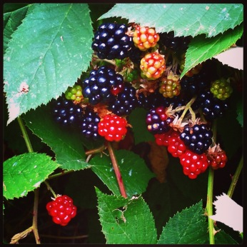 Wild blackberries in the bush