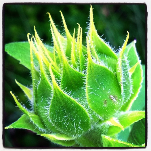 Sunflower bud in colour