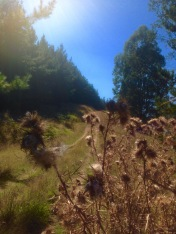 my running track up the hill with deaqd thistles in the foreground