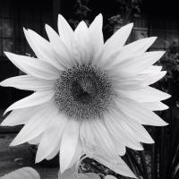 My stark sunflower