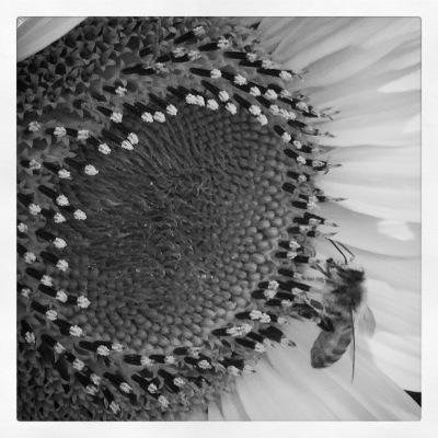 Monochrome sunflower