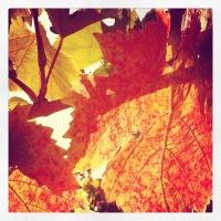 Orange leaf veins