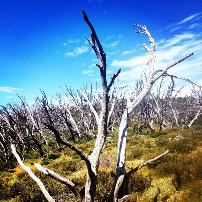 Dead trees on top of Australia