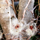 fluffy seed pods