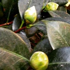 Camellia buds