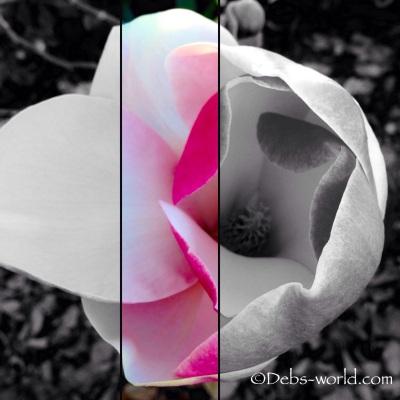 Split magnolia