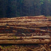 Recently harvested logs