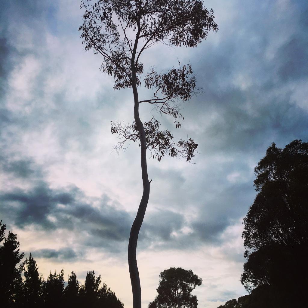 curvey tree