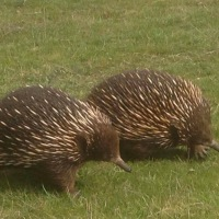 An echidna drops by for a scratch
