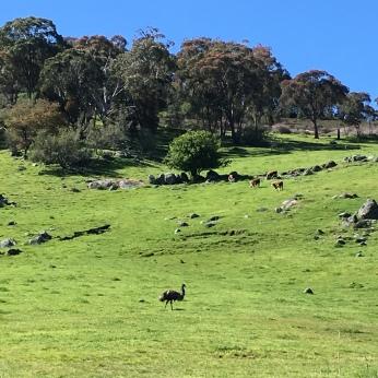 Emu in the paddock
