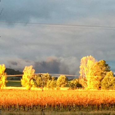 Pure Gold, afternoon light shining over the vineyard in Autumn