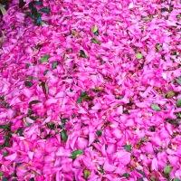 A carpet of pink Camelia flowers
