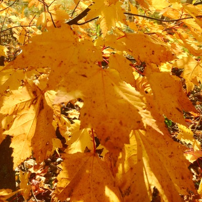 Yellow leaves, autumn colour