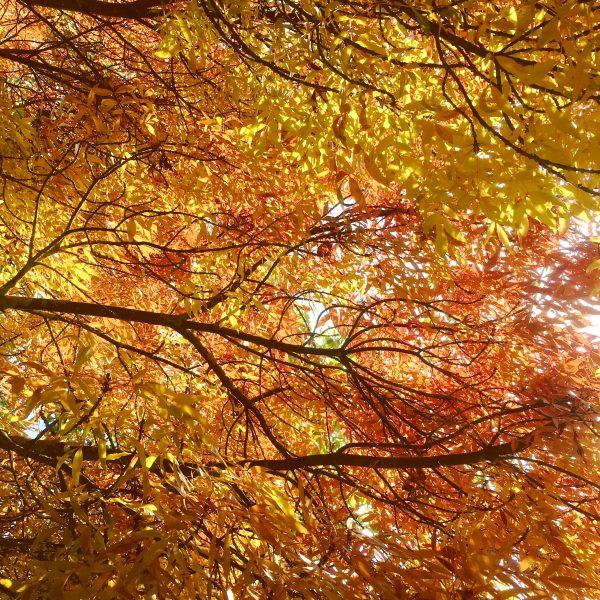 Autumn colour. leaves