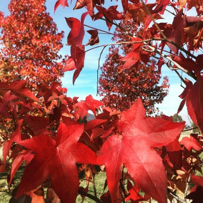 Red leaves, autumn colour