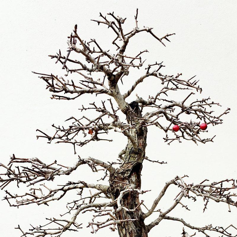 Red seeds on a bonsai tree, bonsai