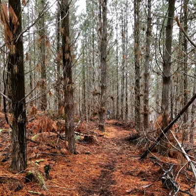 Forest tracks on a winter's day in Tumbarumba