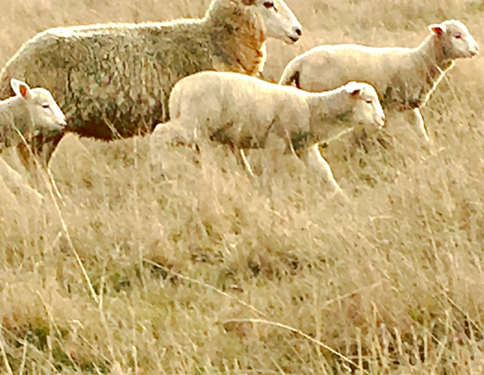 Sheep in the paddock blending in with the colour of the grass