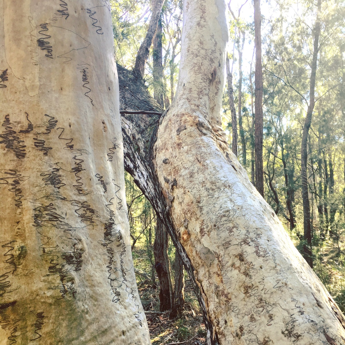 Worth a Word Wednesday: Scribbly Gums