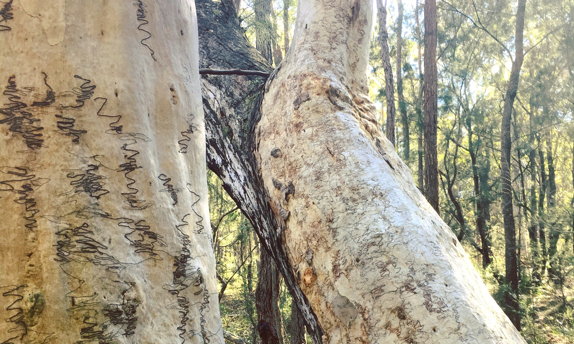 Scribbly Gums In the Australian bush are very special trees