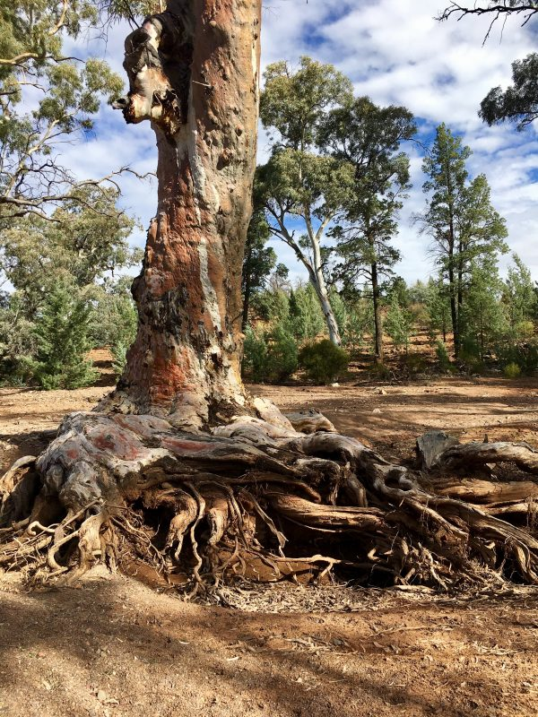 An ancient old tree on the Frome River in the Flinders Ranges