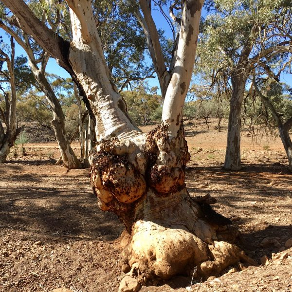Magnificent tree in the Flinders Ranges, South Australia