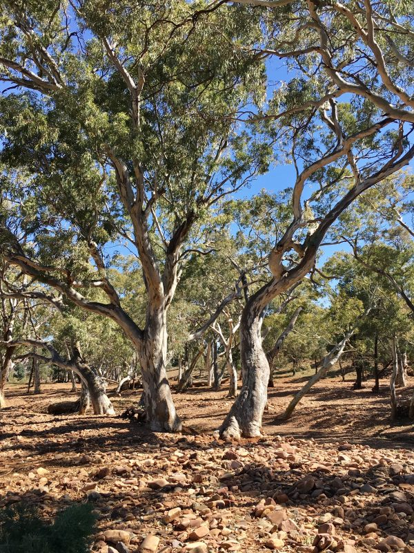 River red gums along the riverbed