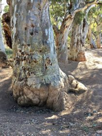 Mighty River gums in the Frome River in South Australia's Flinders Ranges