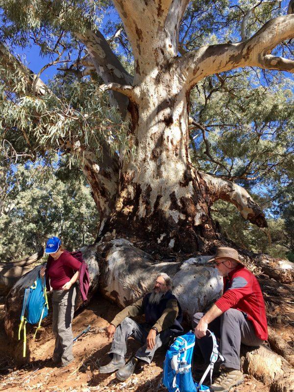 Lunch under this huge old tree in the Flinders Ranges