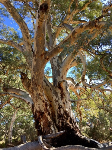 River gum along the Frome River in South Australia's Flinders Ranges