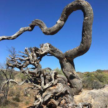 Priscilla Queen of the desert in the Flinders ranges South Australia