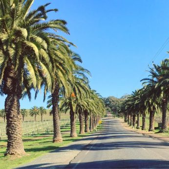 Palm tree lined road in Seppeltsfield, Barossa Valley