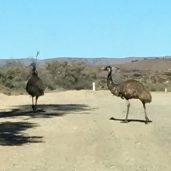Why did the emu cross the road?