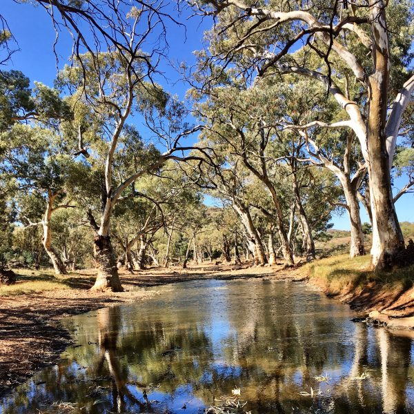 River Gums in the Frome River, Flinders Ranges, South Australia