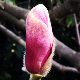 Magnolia unfurling into spring