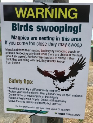 Magpie sign during springtime in Australia
