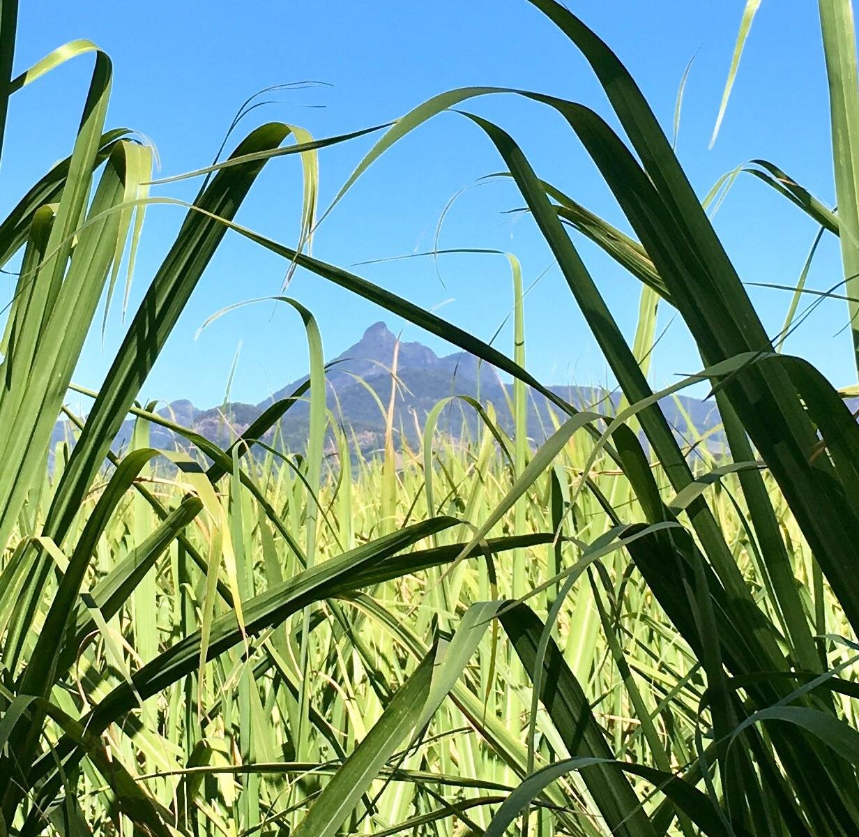 Mt Warning framed by cane fields