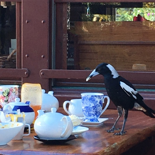 Magpie enjoying his afternoon tea, rather than swooping me in spring time