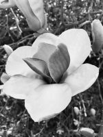Magnolia in black and white for Photographer's choice 52 week photography project