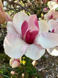 Magnolia in bloom
