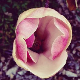 Magnolia flower as growth