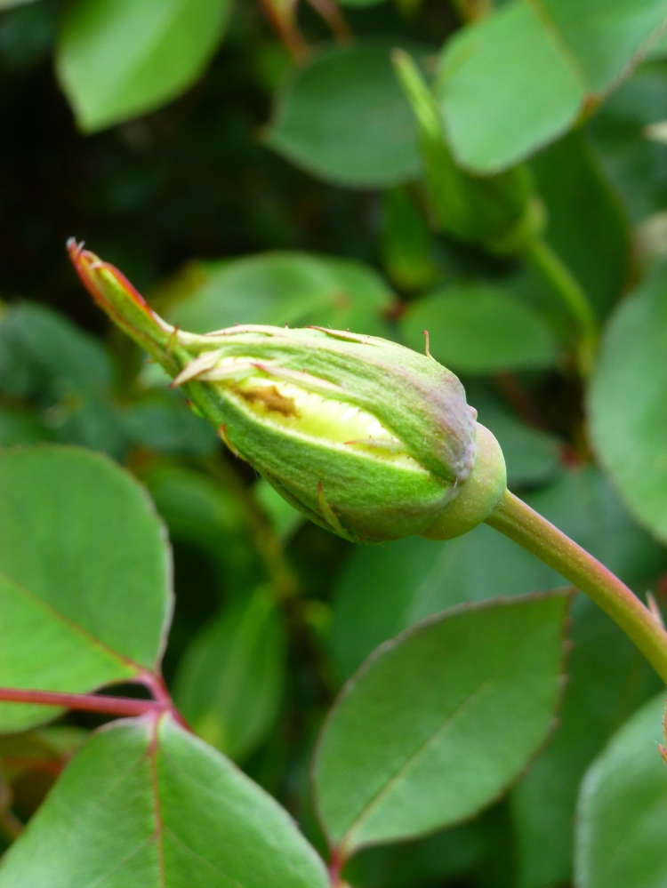 Rosebud about to open in my garden