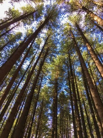 Sugar Pine Walk near Tumbarumba