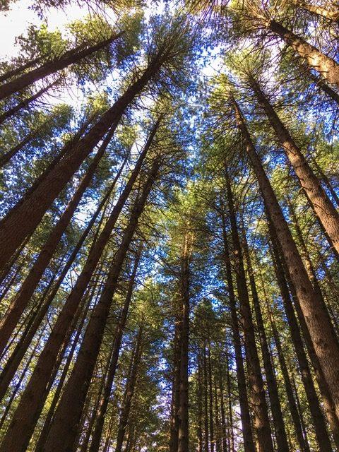 Sugar Pine Walk near Tumbarumba